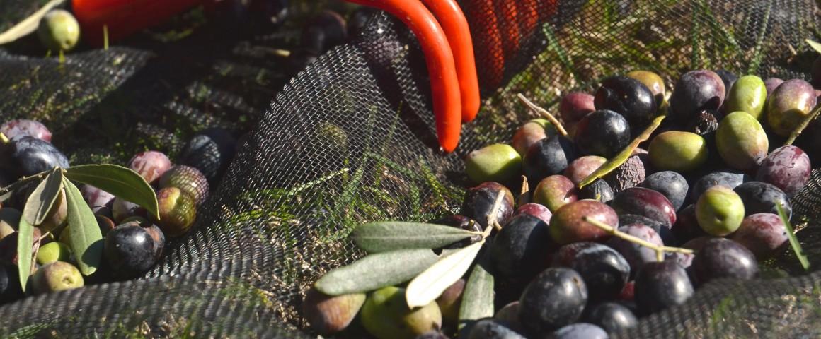 colheita-azeitona