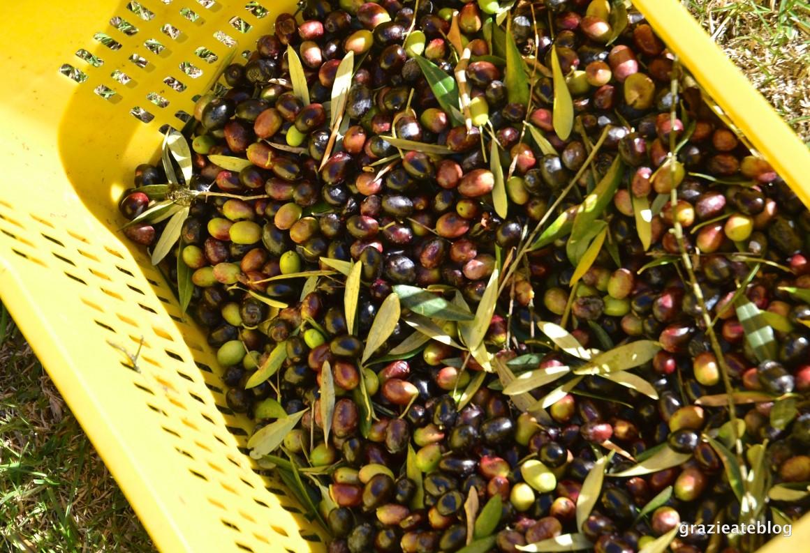 colheita-de-azeitonas