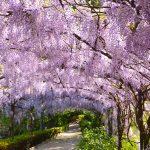 glicinias-florença